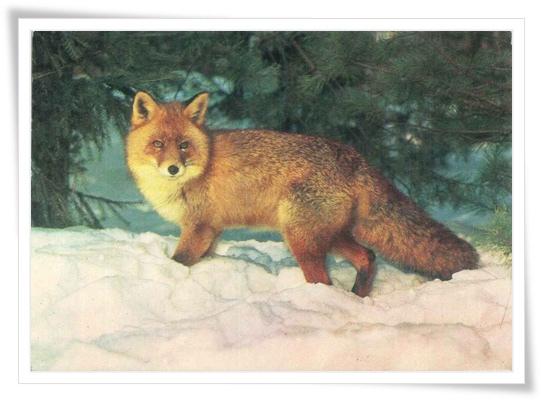 ru_fox.jpg