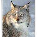 wild animals_RU_cat.jpg