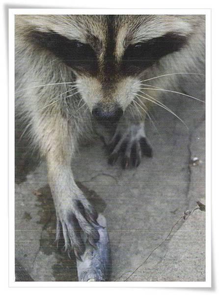 raccoon with fish.jpg