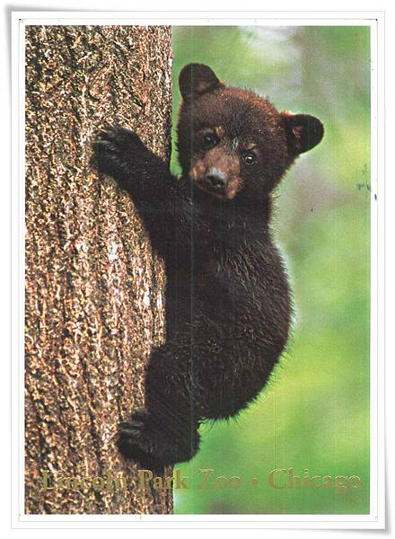 lincoln park zoo black bear cub.jpg