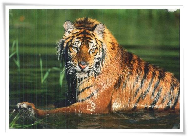 sibirischer tiger.jpg