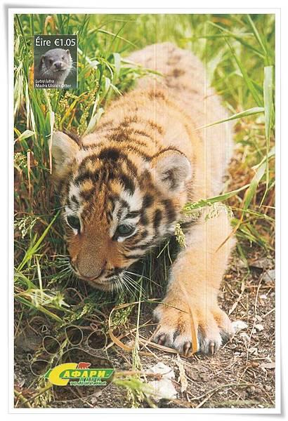 amur tiger1.jpg