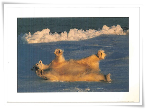cz_polar bear.jpg