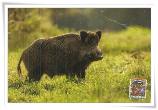 wild boar1.jpg