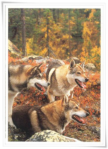 tundra wolf.jpg
