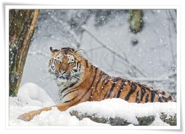 snow tiger.jpg
