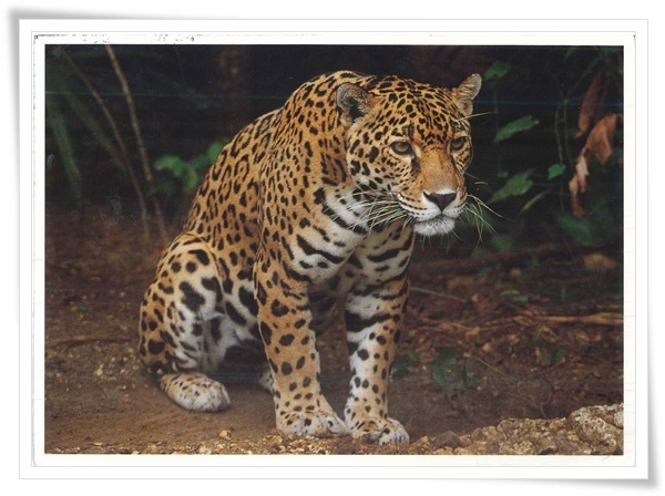 exotic wildlife jaguar.jpg