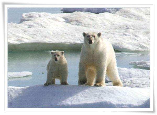 polar bear_RU.jpg