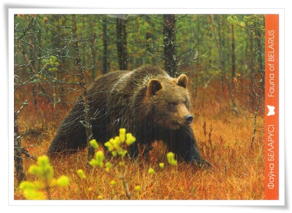 brown bear_fauna of BY.jpg