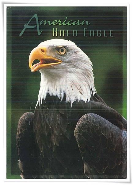 american bald eagle.jpg