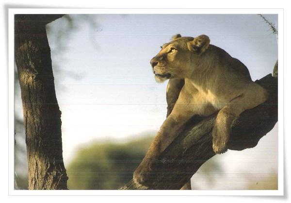 lioness on a branch.jpg