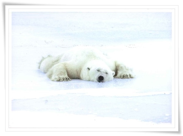 polar bear sleeping.jpg