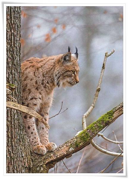 lynx on the tree_RU.jpg