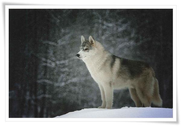 wolf_RU.jpg