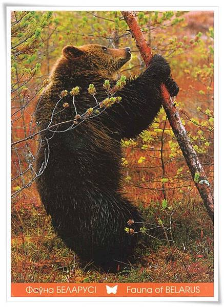 fauna of belarus_ brown bear.jpg