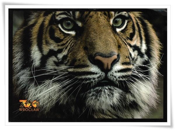 panthera tigris.jpg