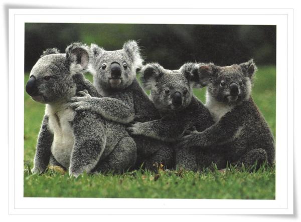 koala family.jpg