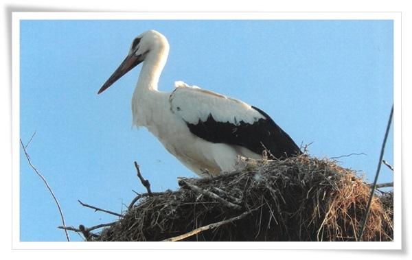oriental white stork.jpg
