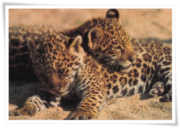 junge jaguare.jpg
