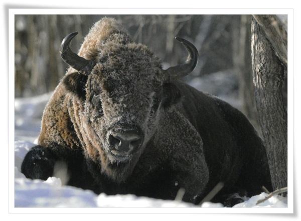 polish bison.jpg