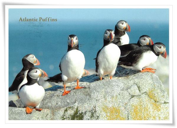 atlantic puffins.jpg