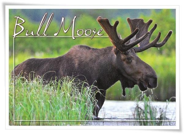 bull moose.jpg