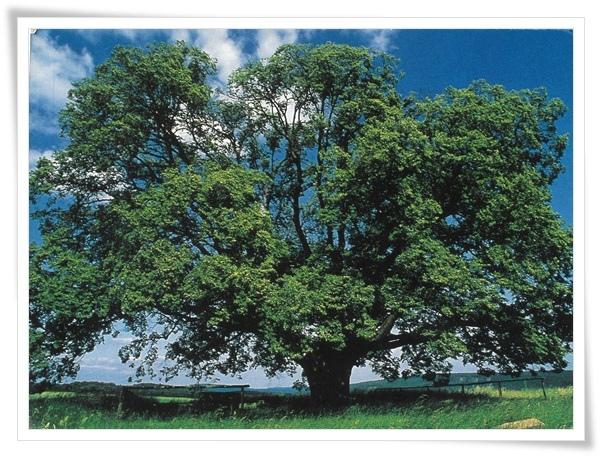 damire tree.jpg
