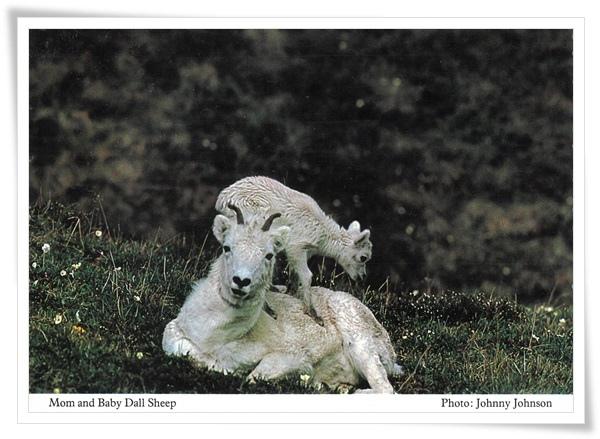 dall sheep.jpg