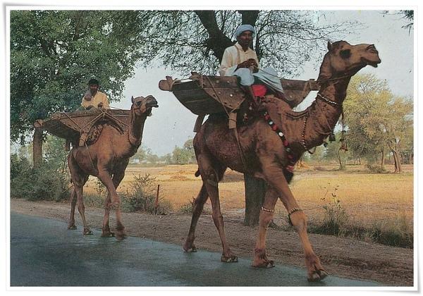 Pakistan Camel View.jpg