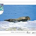 <<北海道>>Hokkaido: A lovable seal on the dirft ice