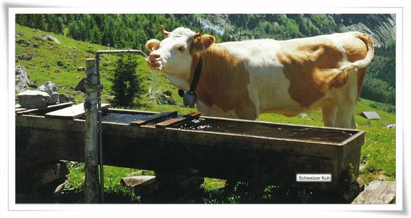 瑞士乳牛.jpg