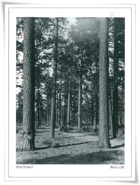 PINE FOREST.jpg