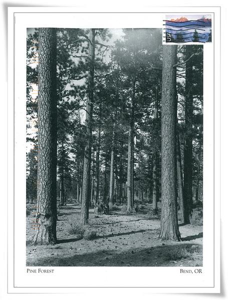 PINE FOREST1.jpg