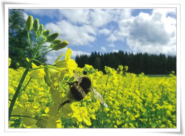 芬蘭油菜花.jpg