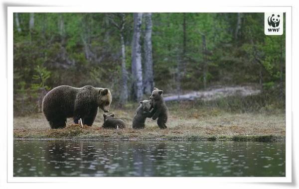 芬蘭 棕熊.jpg