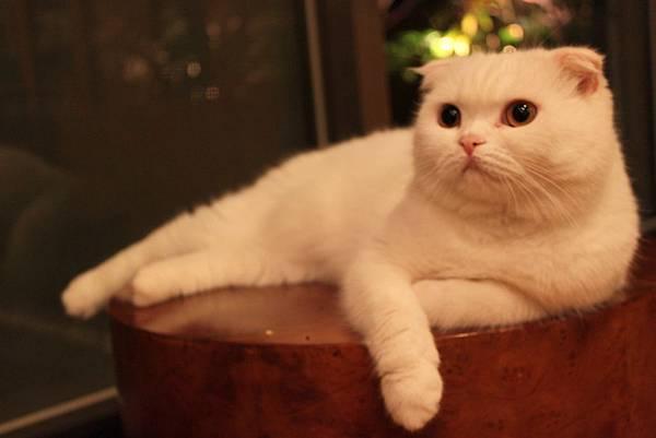 愛麗生婦產科院長的貓1.JPG