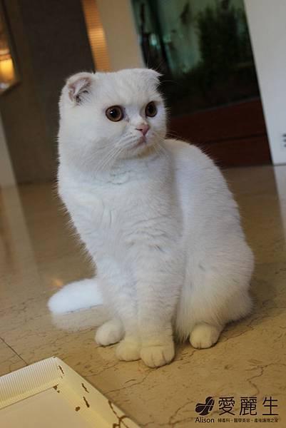 愛麗生婦產科院長的貓2.JPG