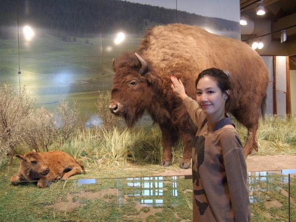 黃石公園最常看到的野牛
