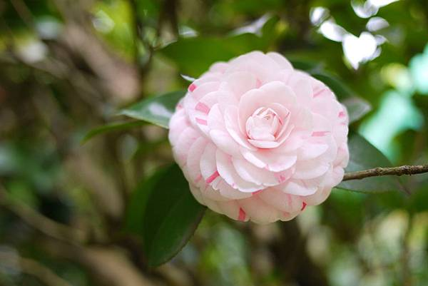 淡粉紅色的花辮上有紅邊!!