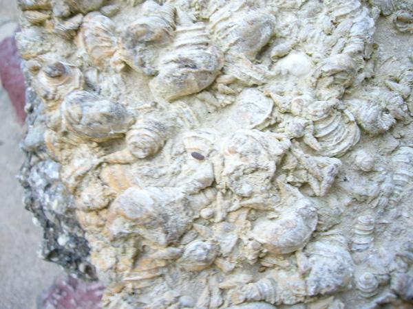 有很多貝類的化石