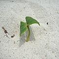 亂拍3-從沙灘長出來的小草