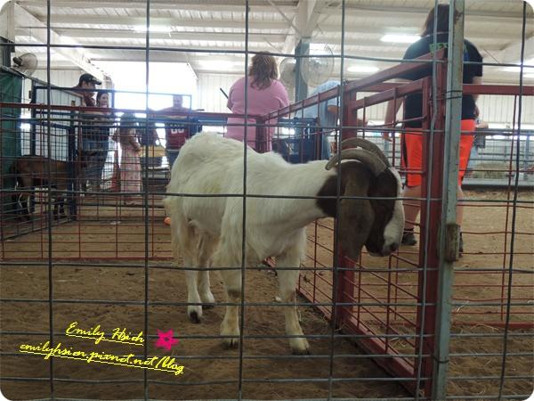 roping goat1