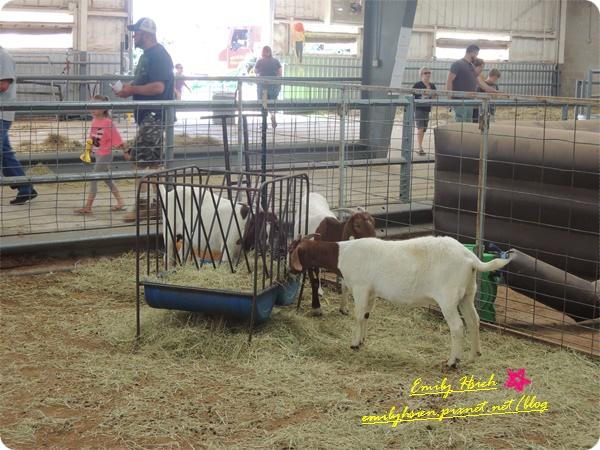 roping goat2