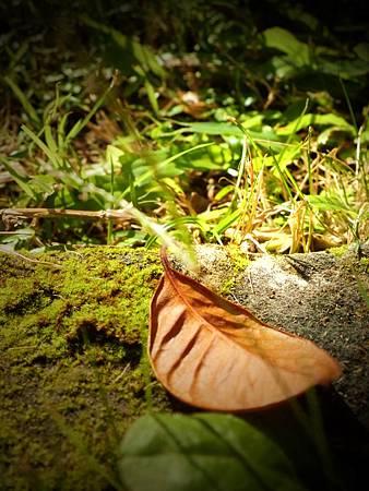 屬於日光的葉子