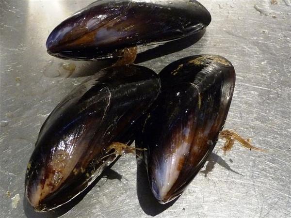 貽貝 mussels-髮狀物.JPG