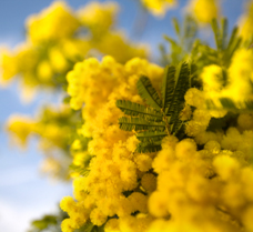 PANTONE 12-0848 Mimosa-colour of 2009a.jpg