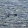 美國Day7上午(48)海獅!!他居然就游在岸邊~~這麼近距離!!可愛!.jpg