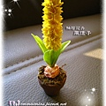 袖珍風信子(高10cm,花盆直徑約2.7cm)
