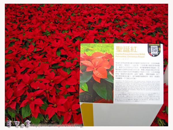 圓山公園區-應景聖誕紅