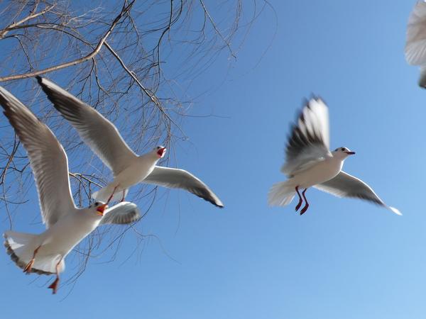 大觀樓海鷗
